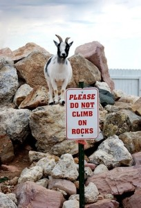 (Source: http://matadornetwork.com/life/32-photos-that-prove-goats-are-the-worlds-best-climbers/)